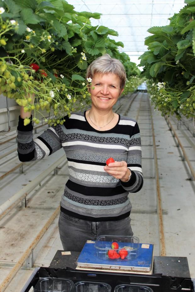 Overdækket jordbærproduktion